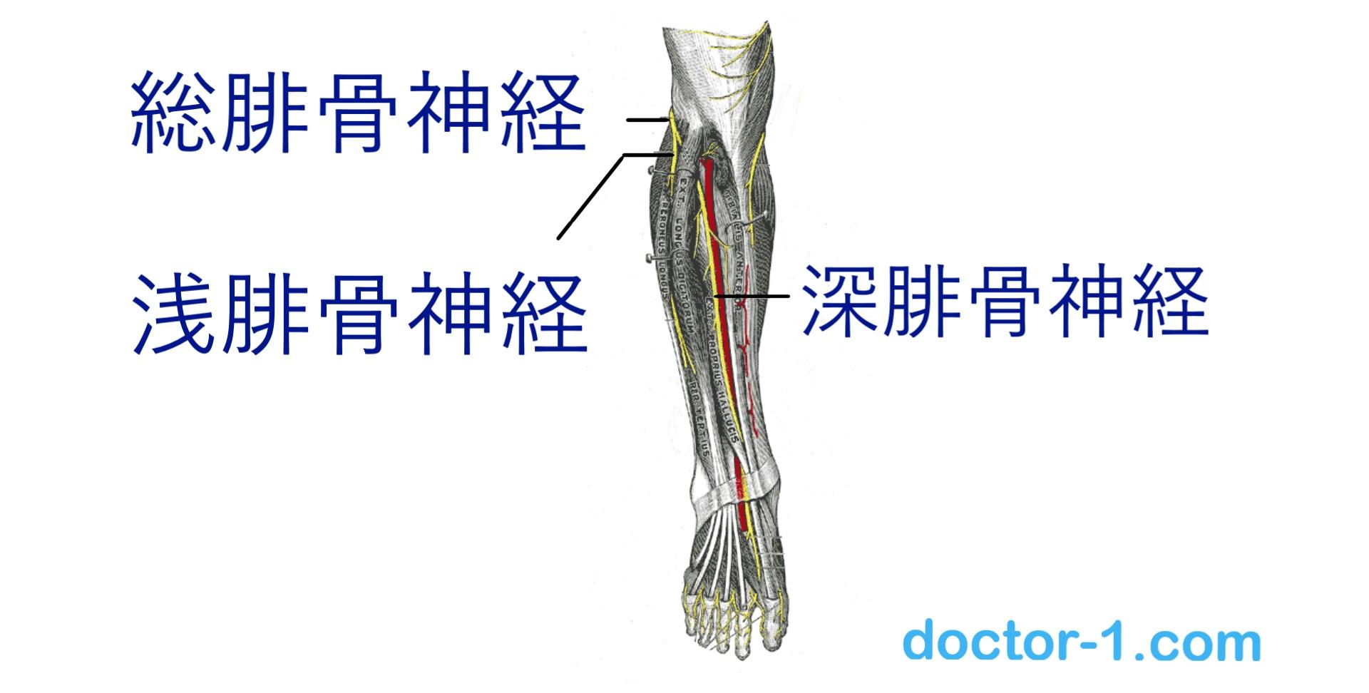 common fibular nerve2