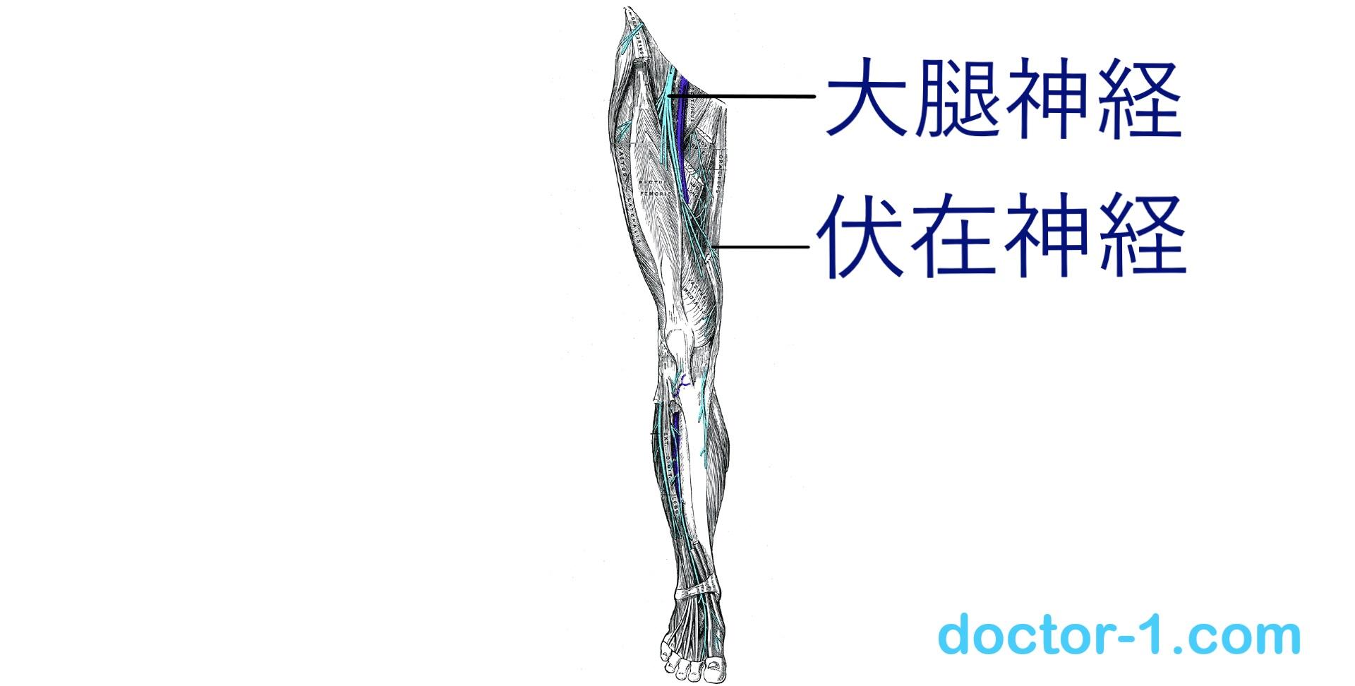 femoral-nerve