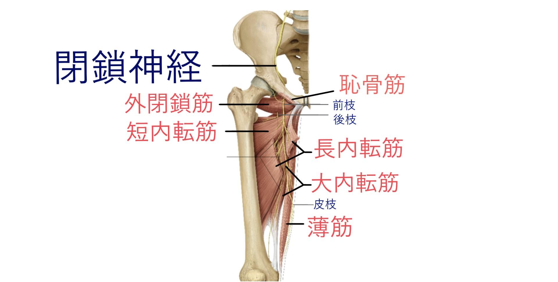 obturator_nerve_muscle_sensory
