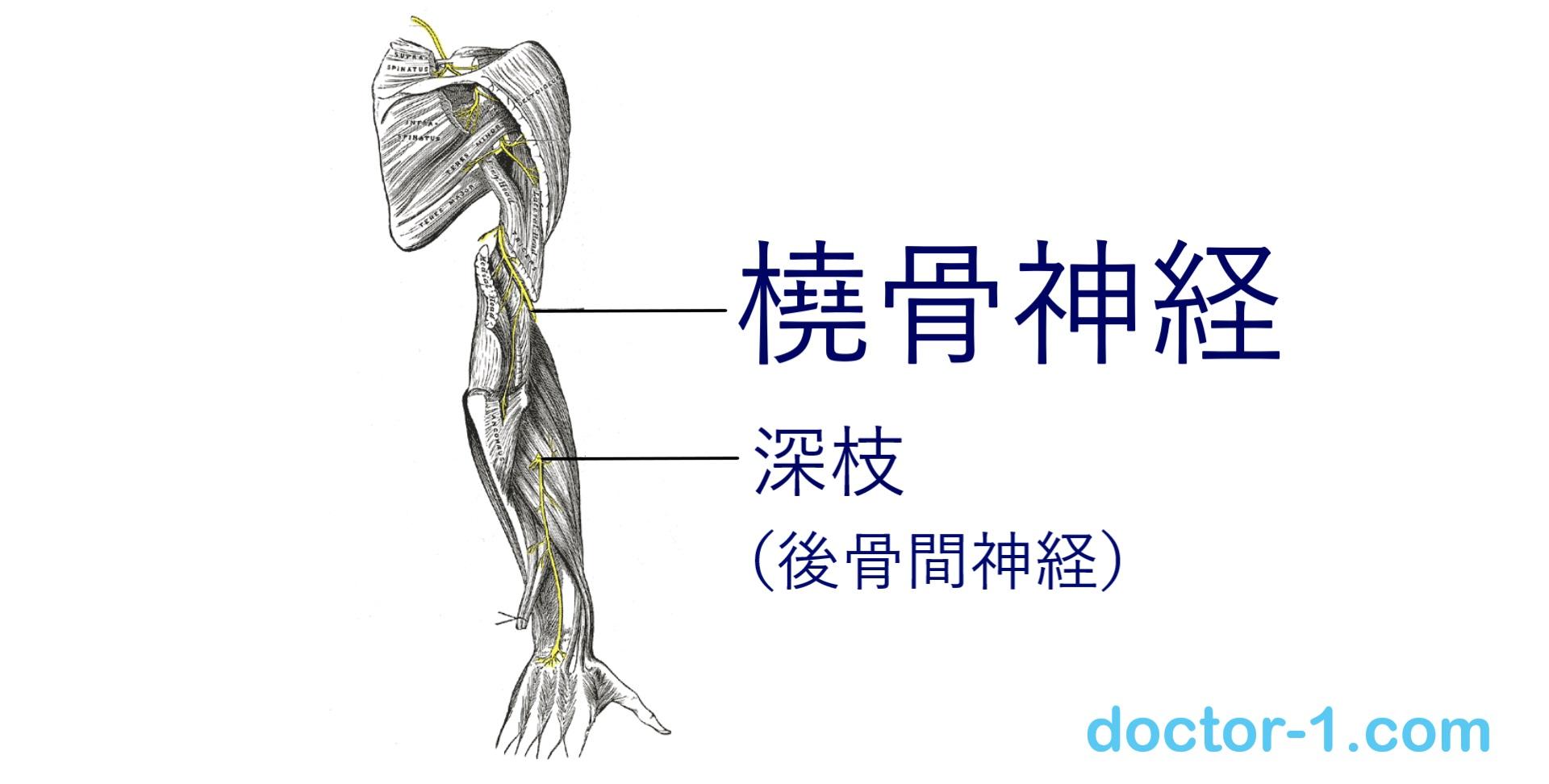 radial_nerve