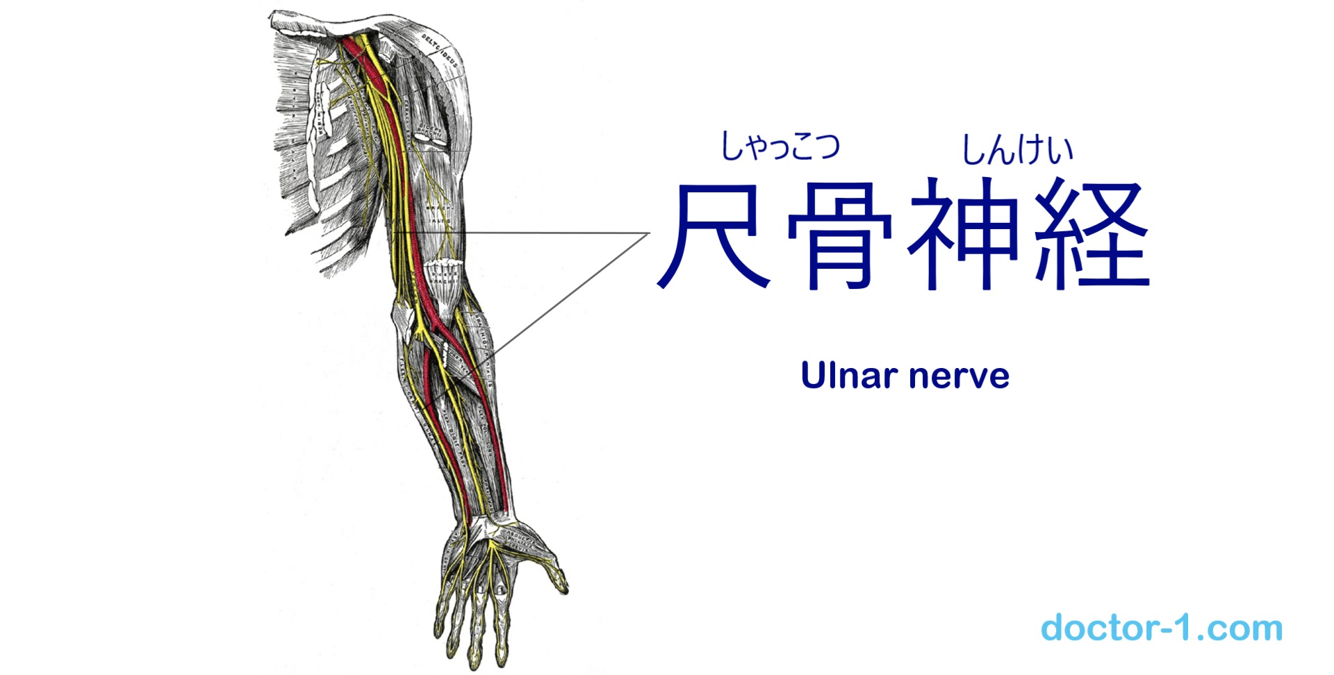 ulnar_nerve